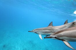 Dolfijnenattracties zorgen voor veel dierenleed'